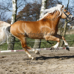 Haflinger, No Name, Hengst 210309